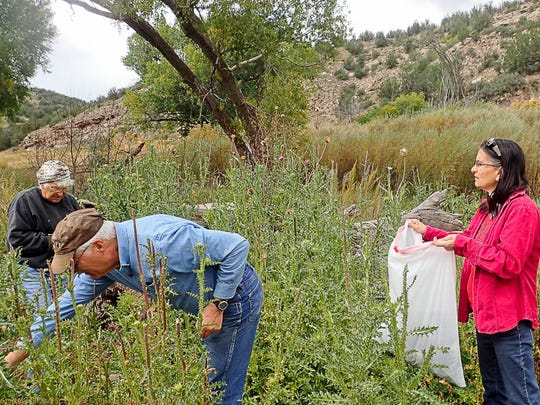 Members of the Fort Stanton Cave Study  group gather thistle heads  along the Bonito to prevent the spread of the invasive weed. From left are E.T. Townsend, Dan Wray and Kathy Peerman.