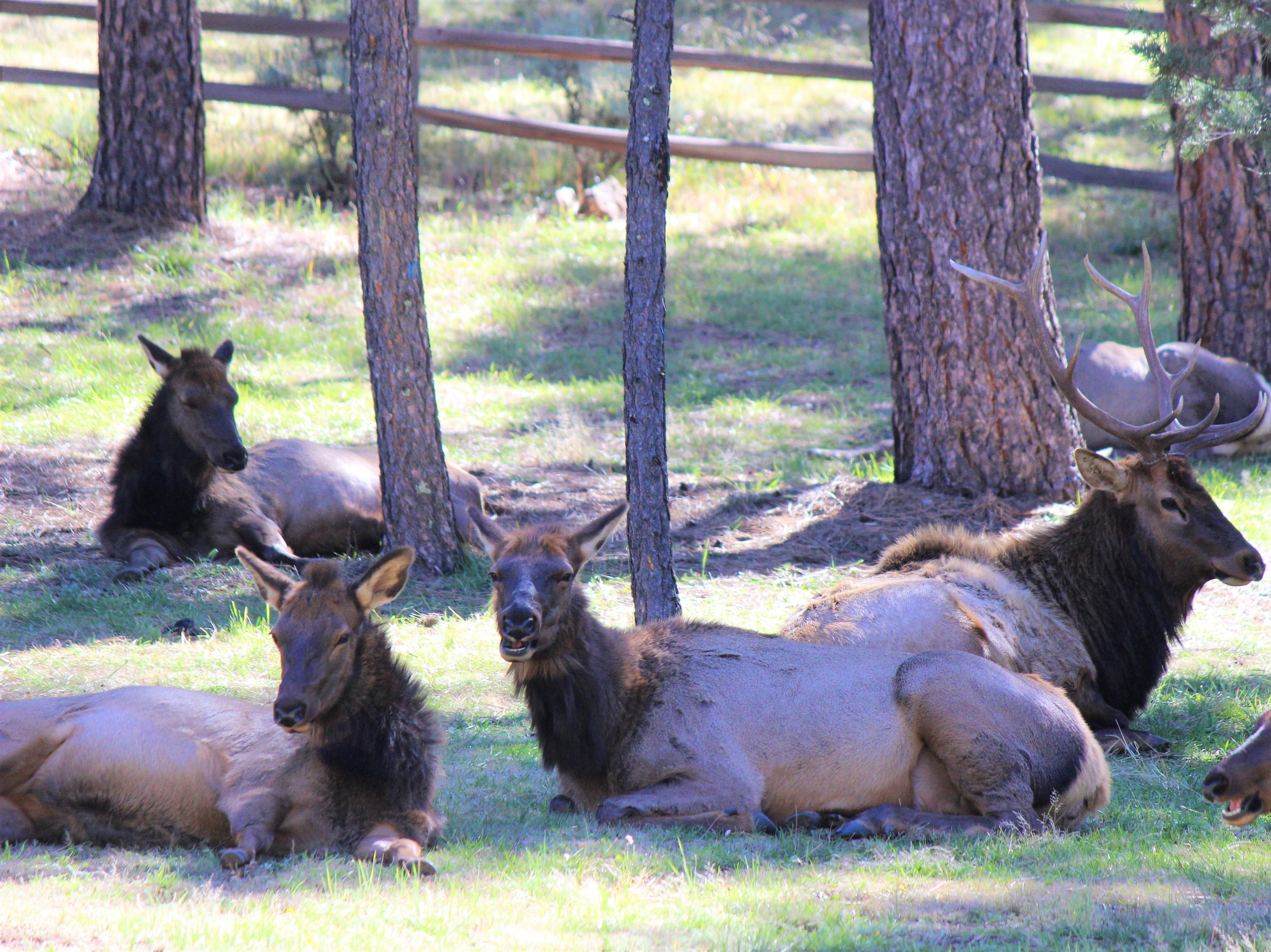 These female elk seem to be smiling for the camera as the Bull behind them takes notice of human presence near his harem A male will have at least six females and their yearlings around him during mating season.