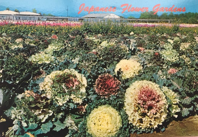 A photo of the old flower gardens planted by Japanese American Farmers along Baseline Road in Phoenix.