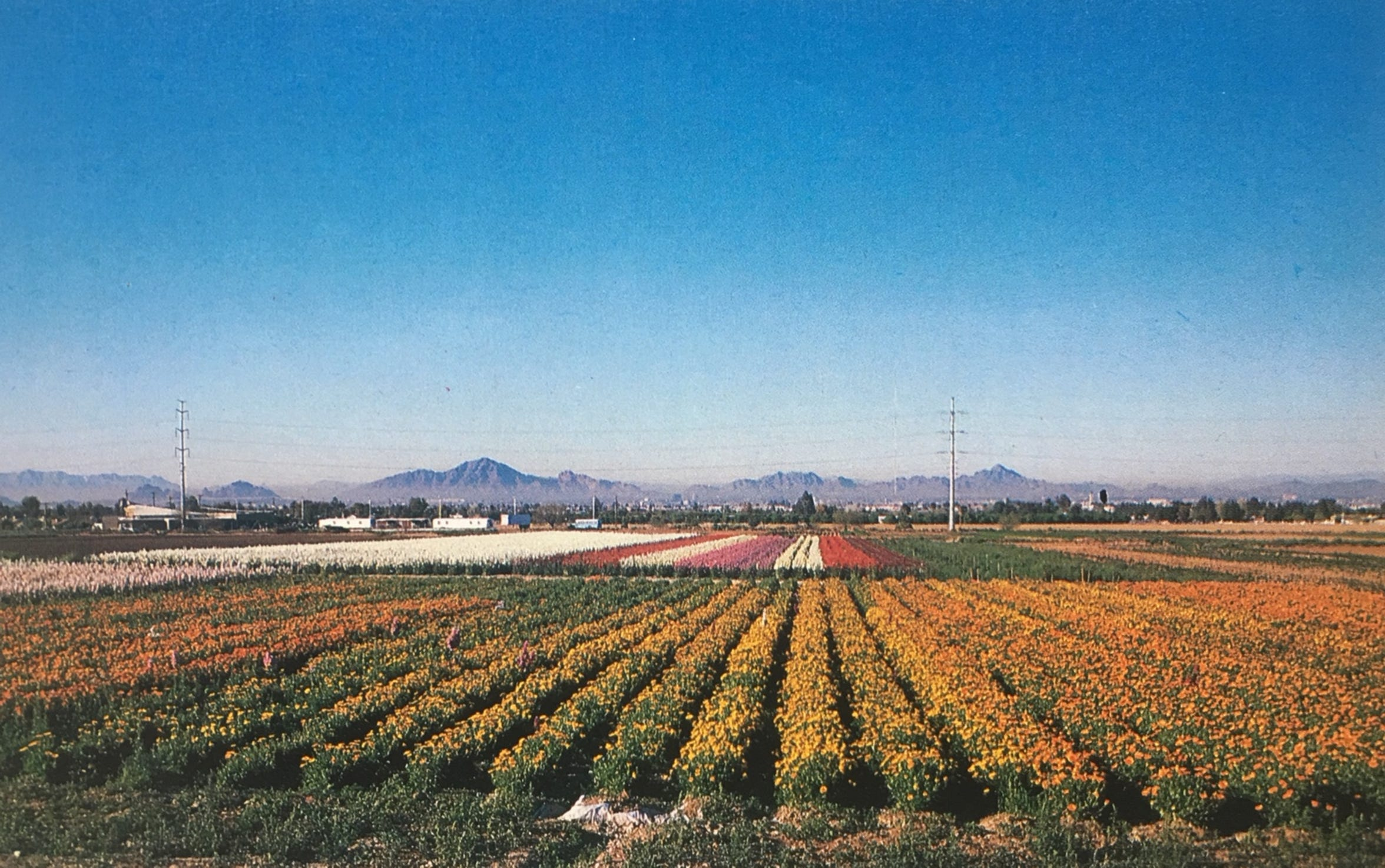 A photo of the old flower gardens planted by Japanese American Farmers along Baseline Road in Phoenix, AZ.