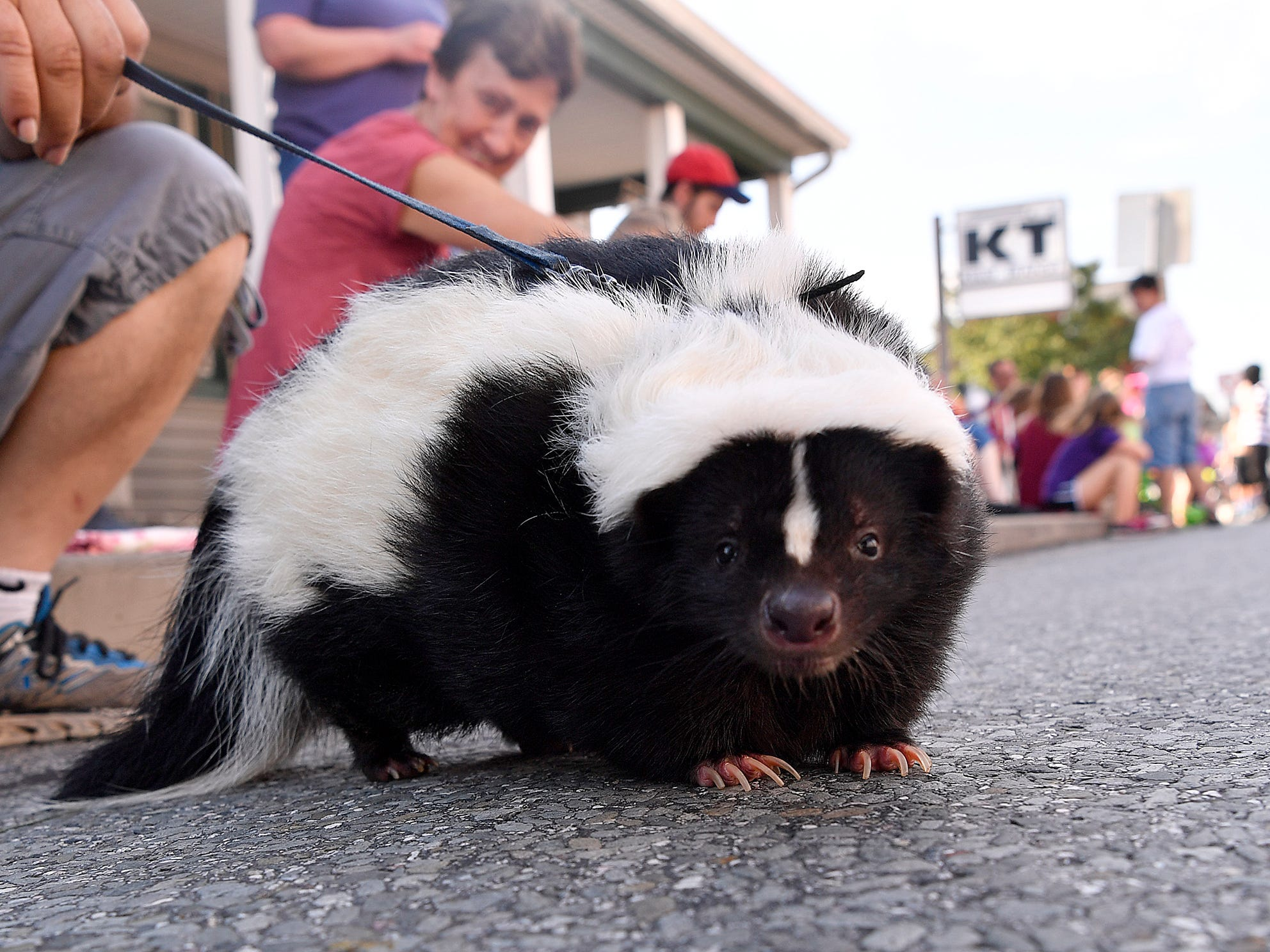 """Shooter"" the skunk hangs out along Carlisle Road while waiting for the Dover Halloween Parade, Sunday Oct. 7, 2018. John A. Pavoncello photo"