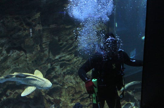 A zebra shark moves in for a closer look at one of the disabled military veteran divers at Wonders of Wildlife aquarium.