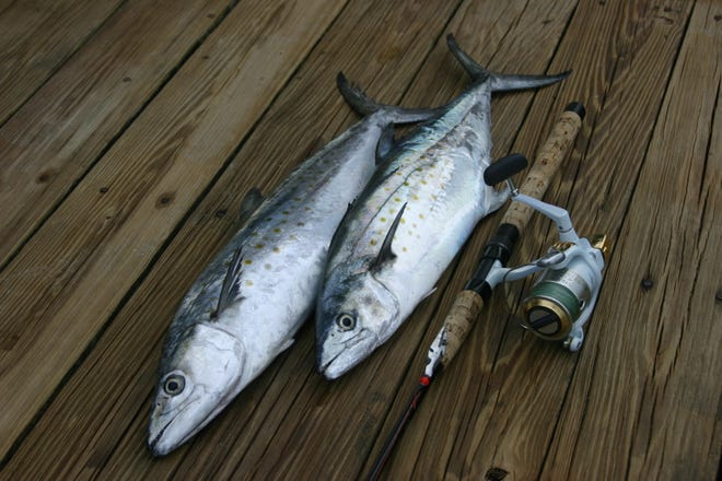 Spanish mackerel are a fun fight on light spinning tackle.