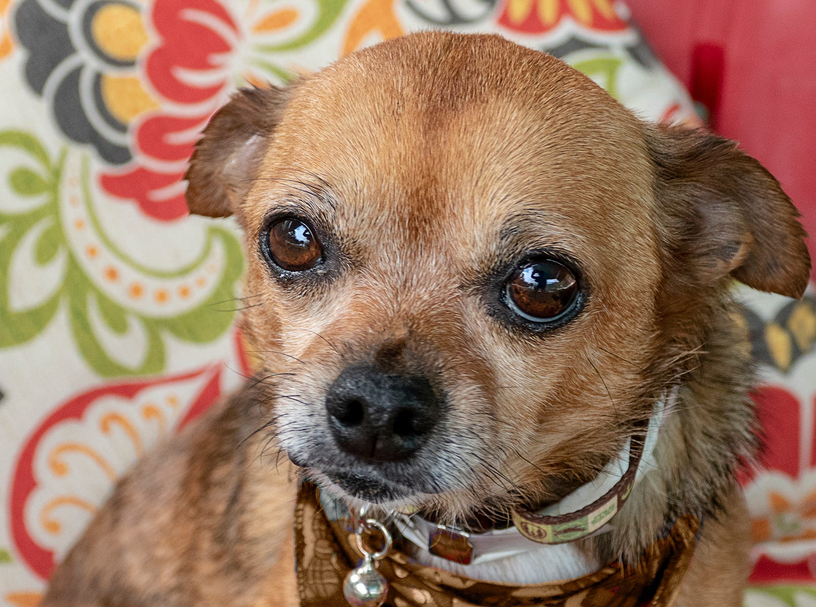 Senior Chihuahua Gizmo, age 12, is all around perfection with the many visitors to the care center. He does beautifully with noises of all sorts and is very friendly with kids who are excited to make his acquaintance! He is a lovely combination of spunky when out for a walk but loves lap time, too. To adopt Gizmo request A5214520. The Agoura Hills Animal Care Center is at 29525 Agoura Road, Agoura Hills. Occasionally pets have already been adopted. To check availability, call 818-991-0071 or visit animalcare.lacounty.gov.
