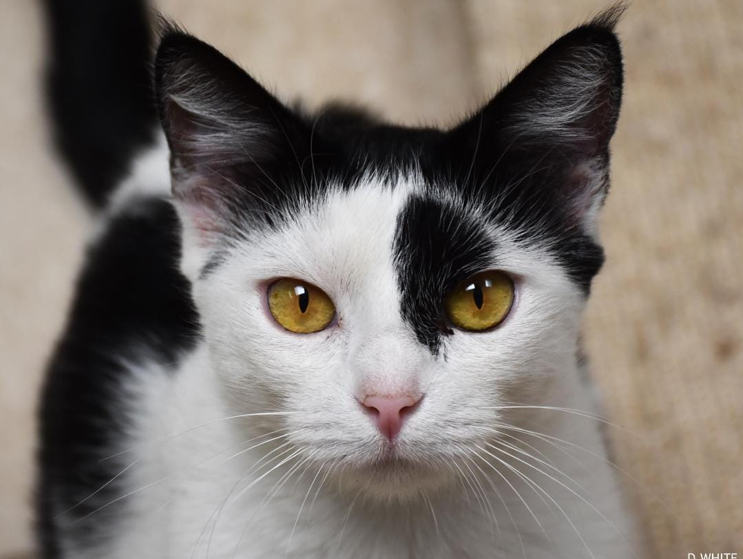 The lovely Sparkle is 2 years old. She is loving and affectionate and always remembers to use her litter box. Sparkle is spayed and gets along well with other cats. She is so friendly that she is known as the official greeter in the cat room. For more information about Sparkle or other available animals, or to volunteer, call 805-646-6505 or visit www.hsvc.org. Her adoption fee of $120 includes spay, vaccinations, feline leukemia test, ID tag, microchip implantation and a loving new family member. She must be an indoor only cat. The shelter is at 402 Bryant St., Ojai. Hours are 10 a.m. to 5 p.m. Monday through Saturday.