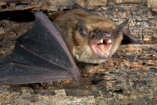 Big brown bat (Eptesicus fuscus) at the roost.