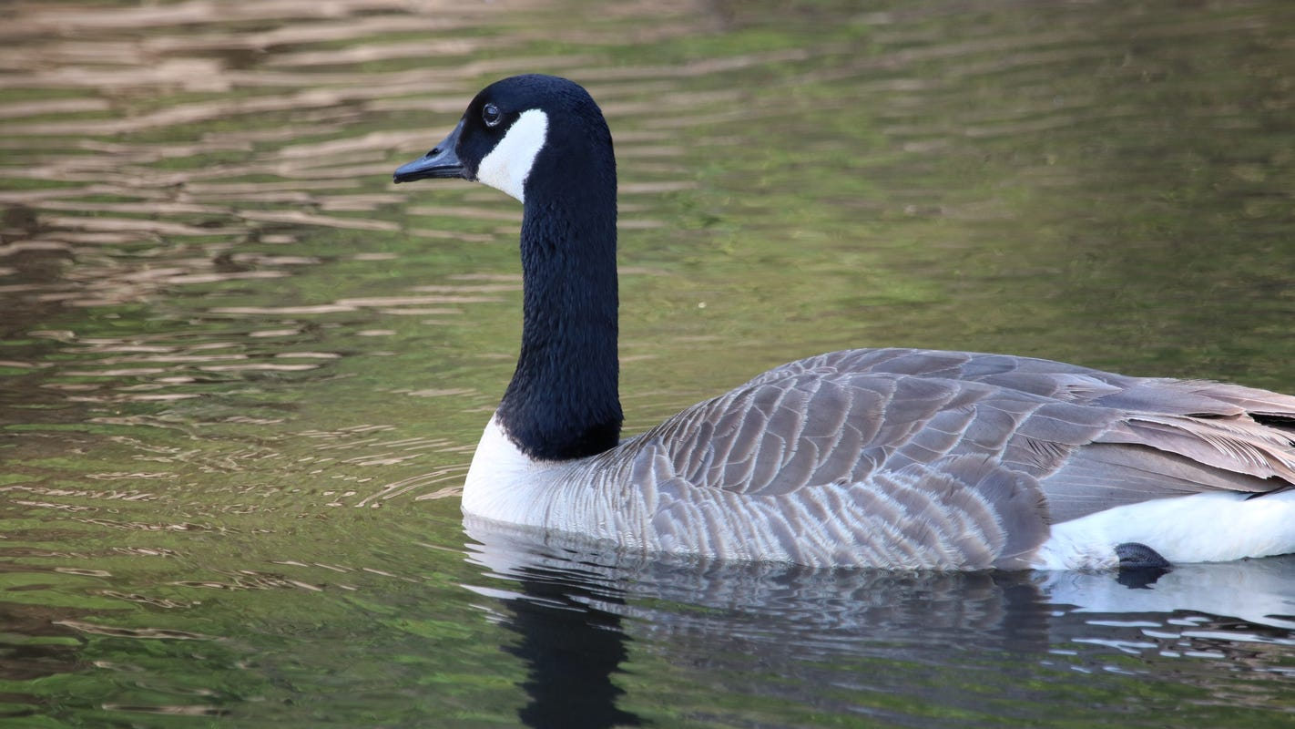 Michigan hunters face thousands in fines for poaching Canada geese, ducks