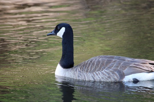 A Canada goose swims in a pond.
