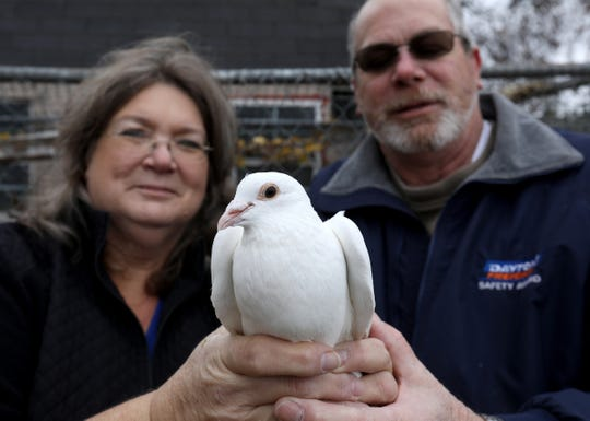Phyllis and Jeff Stevens, owners of Dreamers White Dove Release in Carrollton, Michigan hold an 8 week old dove on Thursday, November 8, 2018. The Stevens use their doves, which are a hybrid of homing pigeon and dove for funerals, weddings and other events.