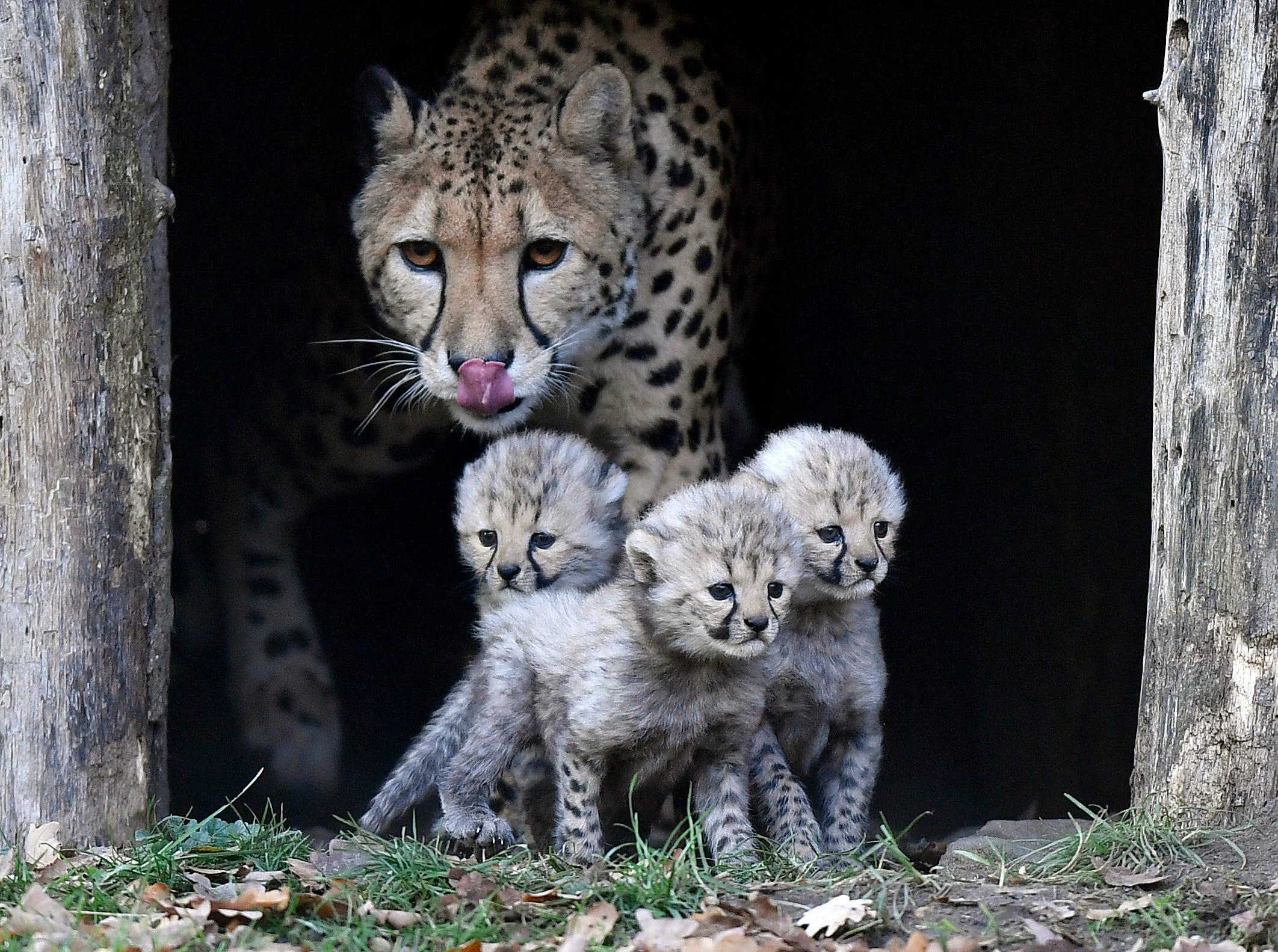 Cheetah mother Isantya looks at its three little babys at their enclosure at the zoo in Muenster, Germany, Friday, Nov. 9, 2018. The triplets were born on Oct.4, 2018 and start to explore their enclosure today. The zoo in Muenster is well known for the successful cheetah breed, about 50 of the endangered animals were born in the zoo since the seventies.