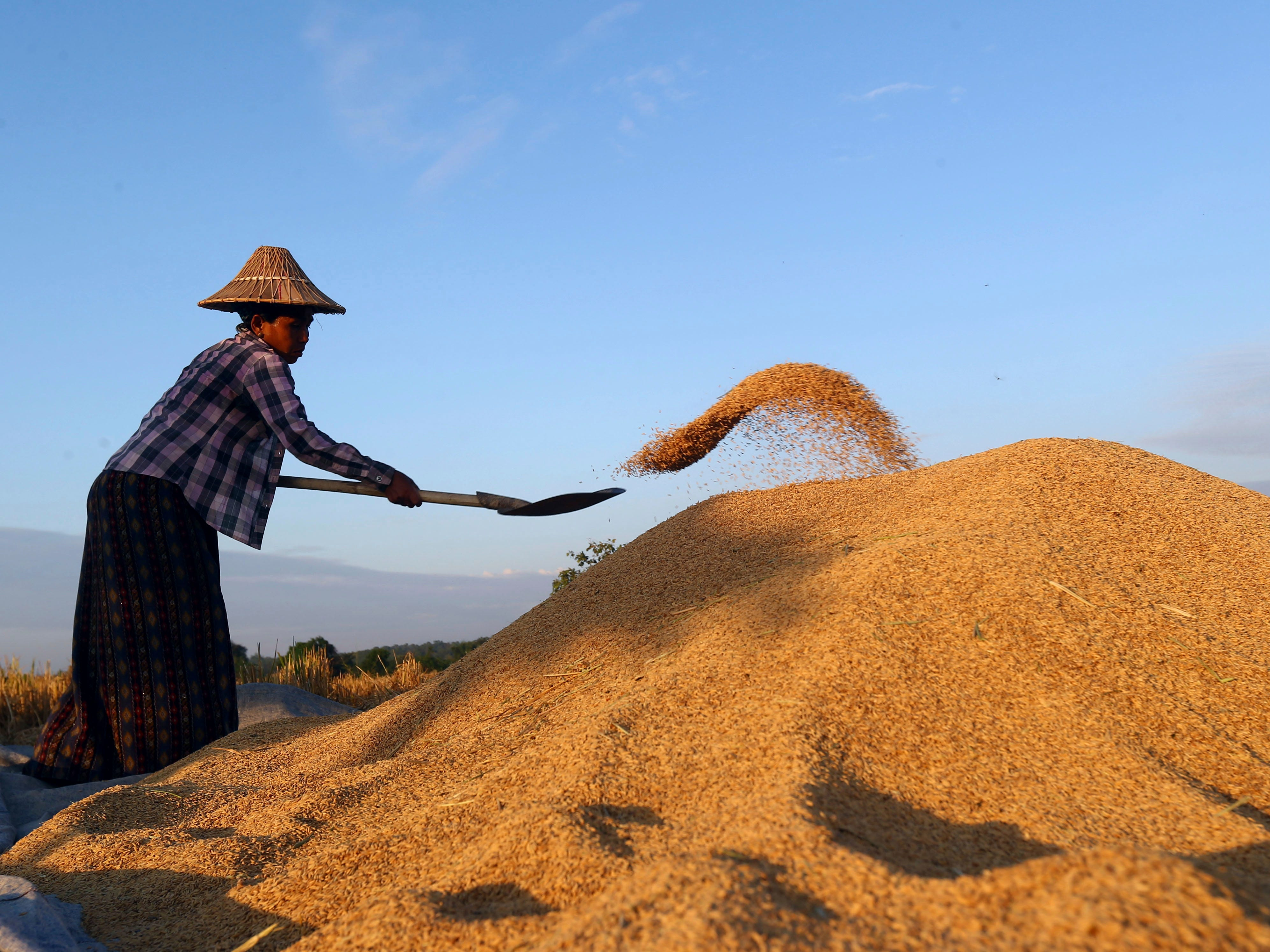 A Myanmar farmer collects paddy into a pile after drying it under the sun as she harvests rice in a rice field in Naypyitaw, Myanmar, Friday, Nov. 9, 2018.