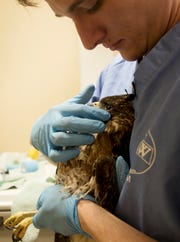Dr. Kyle Abbott, a vet intern at the Clinic for the Rehabilitation of Wildlife on Sanibel finishes therapy on a red shouldered hawk on Friday 11/9/2018. The hawk was struck by a vehicle on Alligator Alley and became embedded in the grill. The bird is lucky to be alive and is considered to be in guarded but fair condition.
