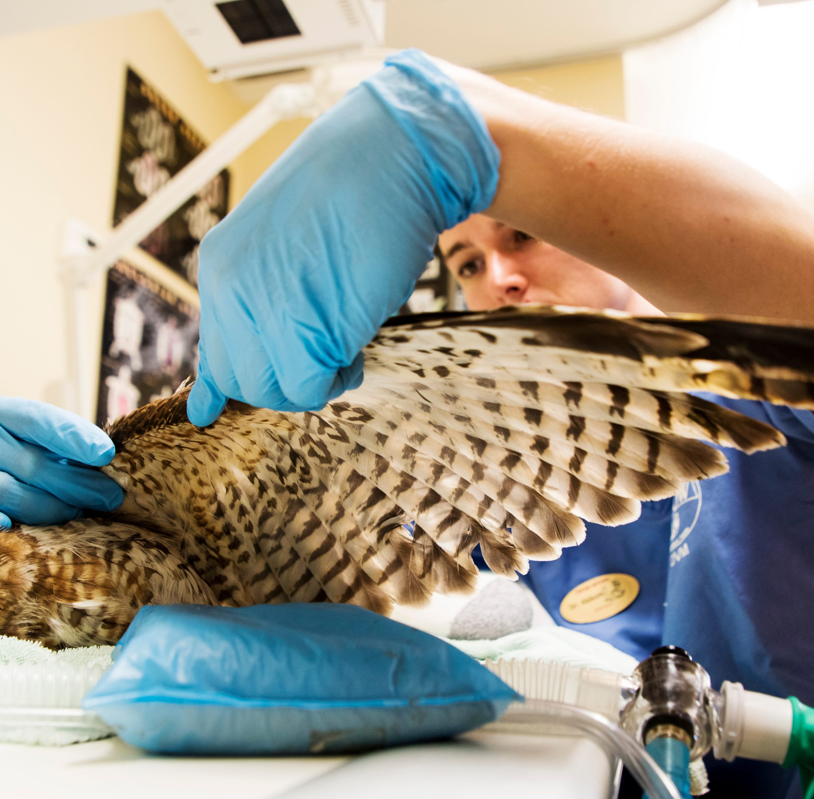 CROW surgeries and care give young hawk in Alligator Alley collision a fighting chance