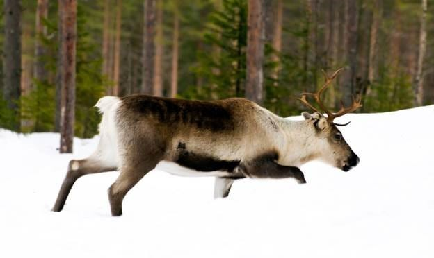 Caribou, members of the deer family, are native to northwest Montana but have almost completely disappeared from the contiguous United States over the last half century.