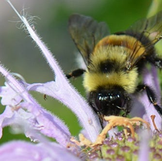 Endangered rusty patched bumblebee at Woodland Dunes gives hope living things can persist
