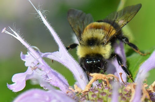 Rusty patched bumblebee.
