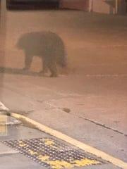 A photo by Jennifer Benson of a black bear outside The Blue Heron BrewPub on Thursday night in Marshfield.