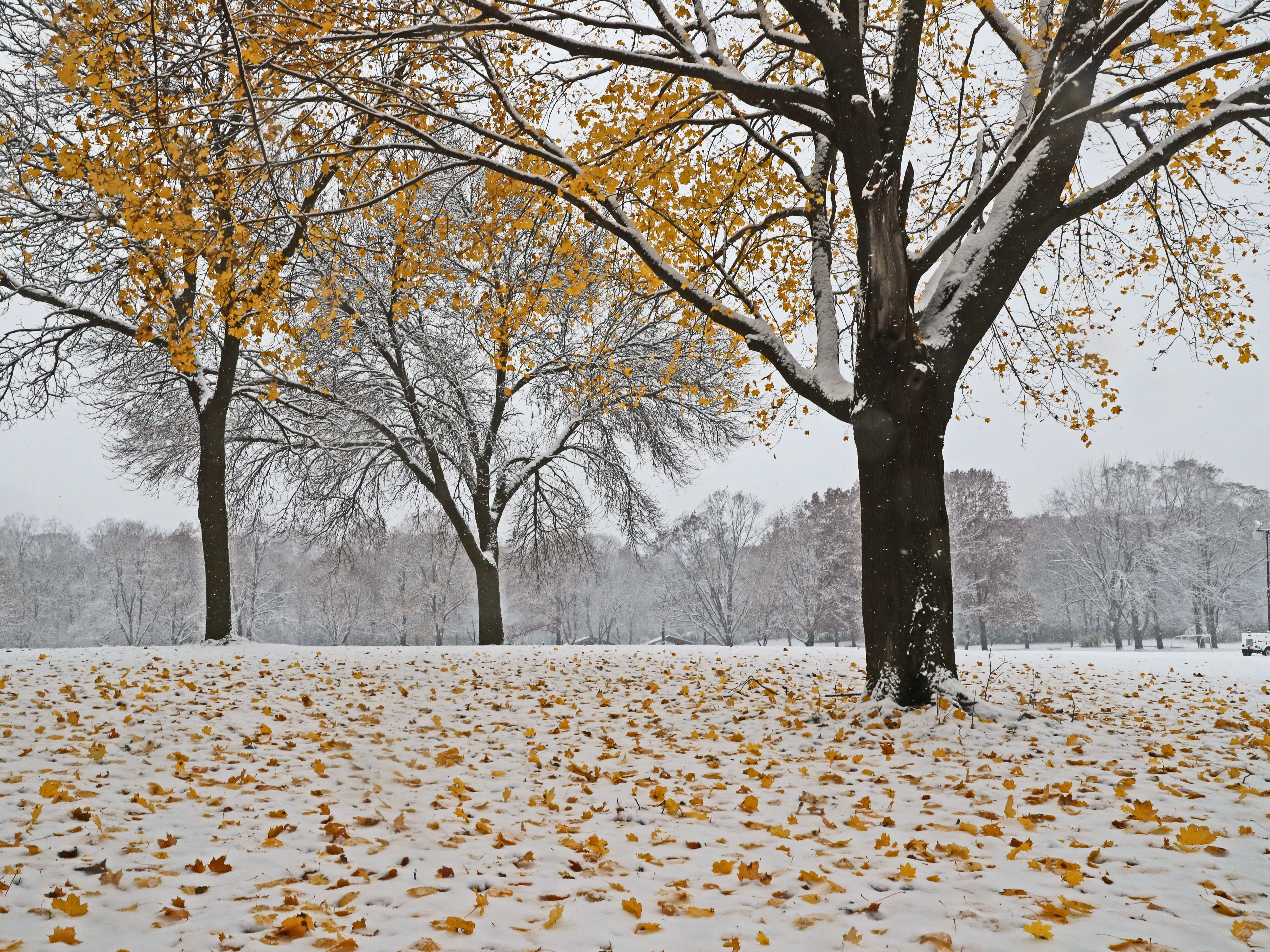 The last leaves fall from  trees as snow weighed them down in Naga-Waukee Park in Delafield.