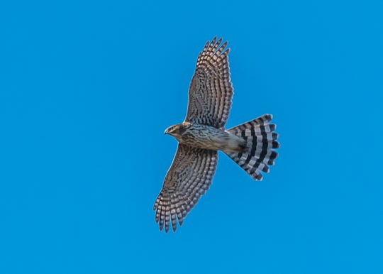 More than 500 Cooper's Hawks were counted at State Line Hawk Watch in Alpine this fall, a new record for the site.