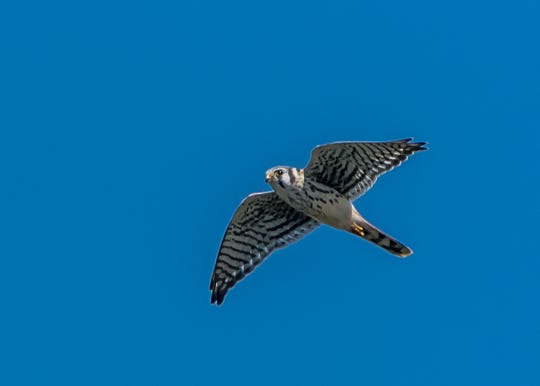 More than 675 kestrels were counted at  State Line Hawk Watch in Alpine this fall, a new record for the site.