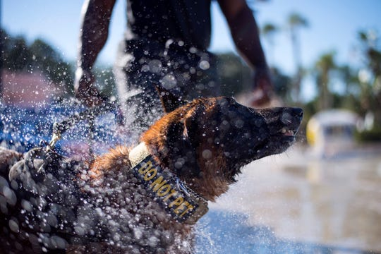 U.S. Air Force 6th Security Forces Squadron military working dog, Lleonard, shakes off water during aggression training at Adventure Island, Tampa, Fla. Oct. 29, 2018. MacDill's military working dogs and handlers took advantage of the water aggression training to overcome the dogs' limited exposure to water.