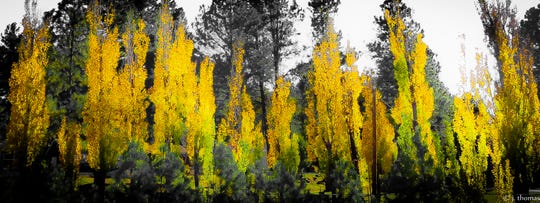 Poplars add color to the evergreens around them.