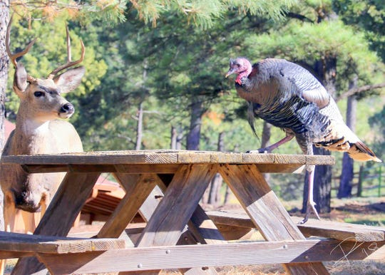 A turkey intimidates a mule deer and with talons that would impress most adversaries.