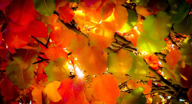 Turning leaves are backlit by sunlight.