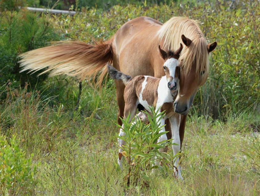 Want to name an Assateague Island foal? All you need to do is win an eBay auction