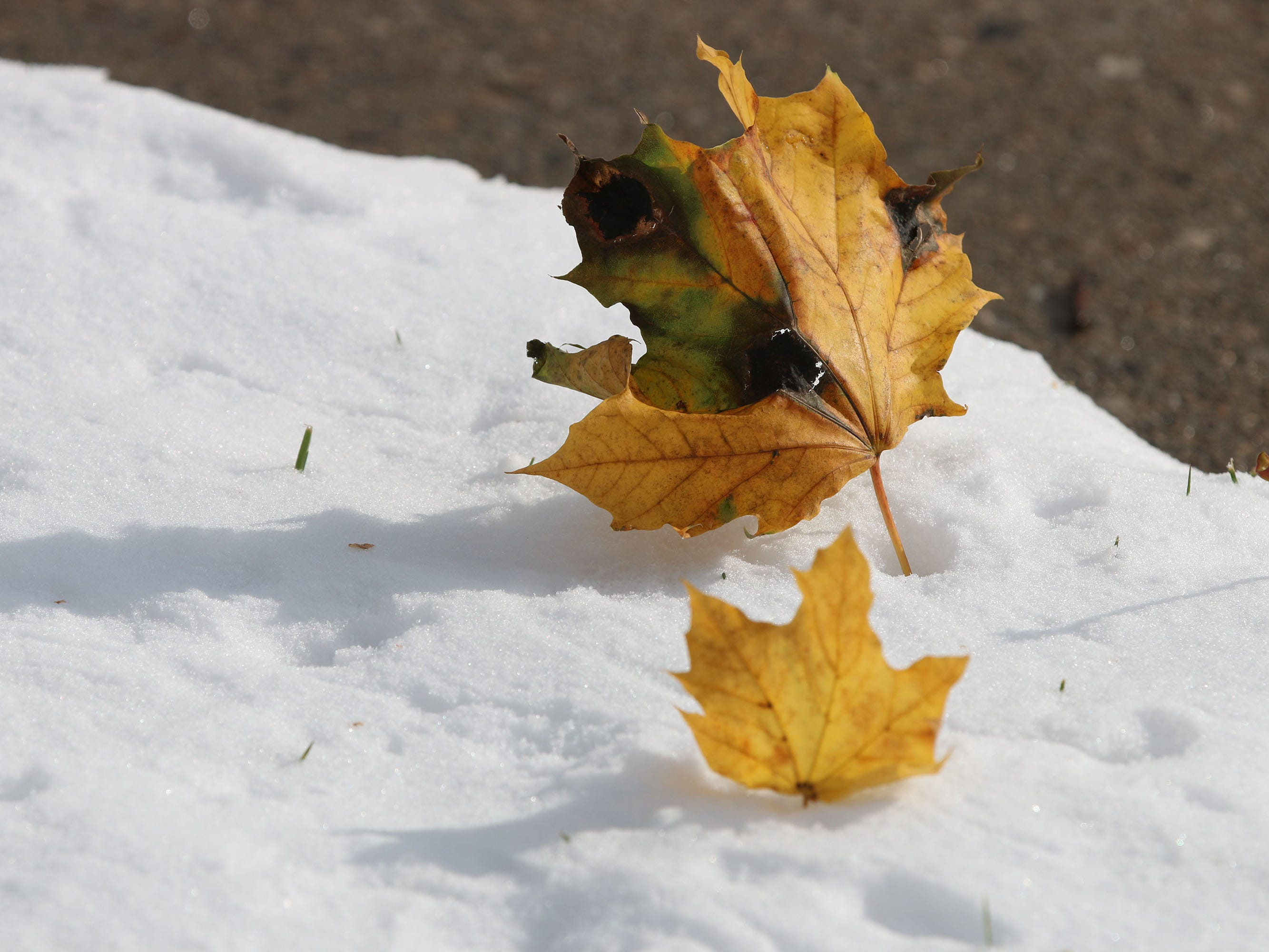 Leaves fall color contrasts with the purity of freshly fallen snow along Evans Avenue, Friday, November 9, 2018, in Sheboygan, Wis.