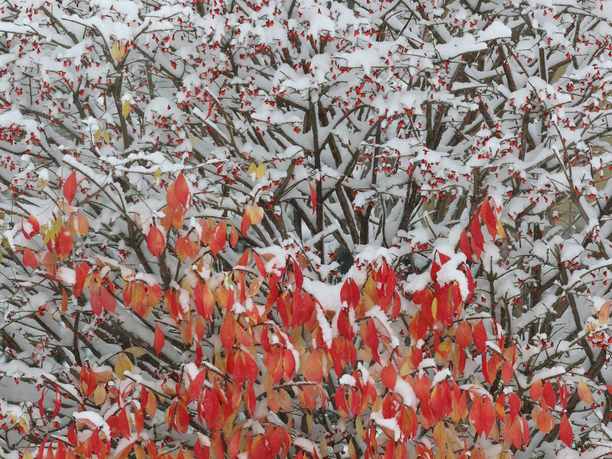 A burning bush contrasts with freshly fallen snow along South 12th Street, Friday, November 9, 2018, in Sheboygan, Wis.