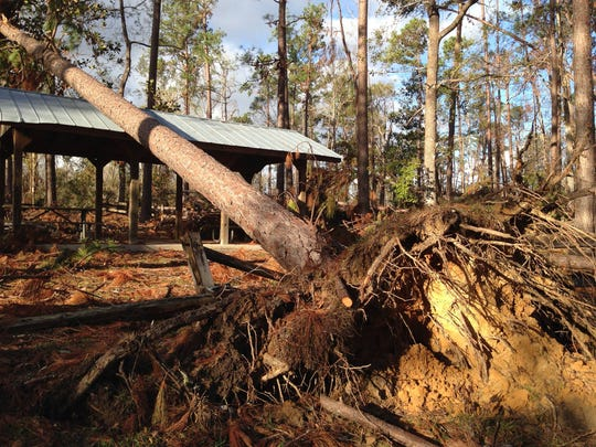 One of the many trees down near the Florida River in Liberty County.