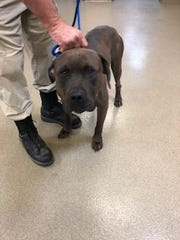 Choco, a Mastiff/Staffordshire Terrier mix authorities are asking for help finding.