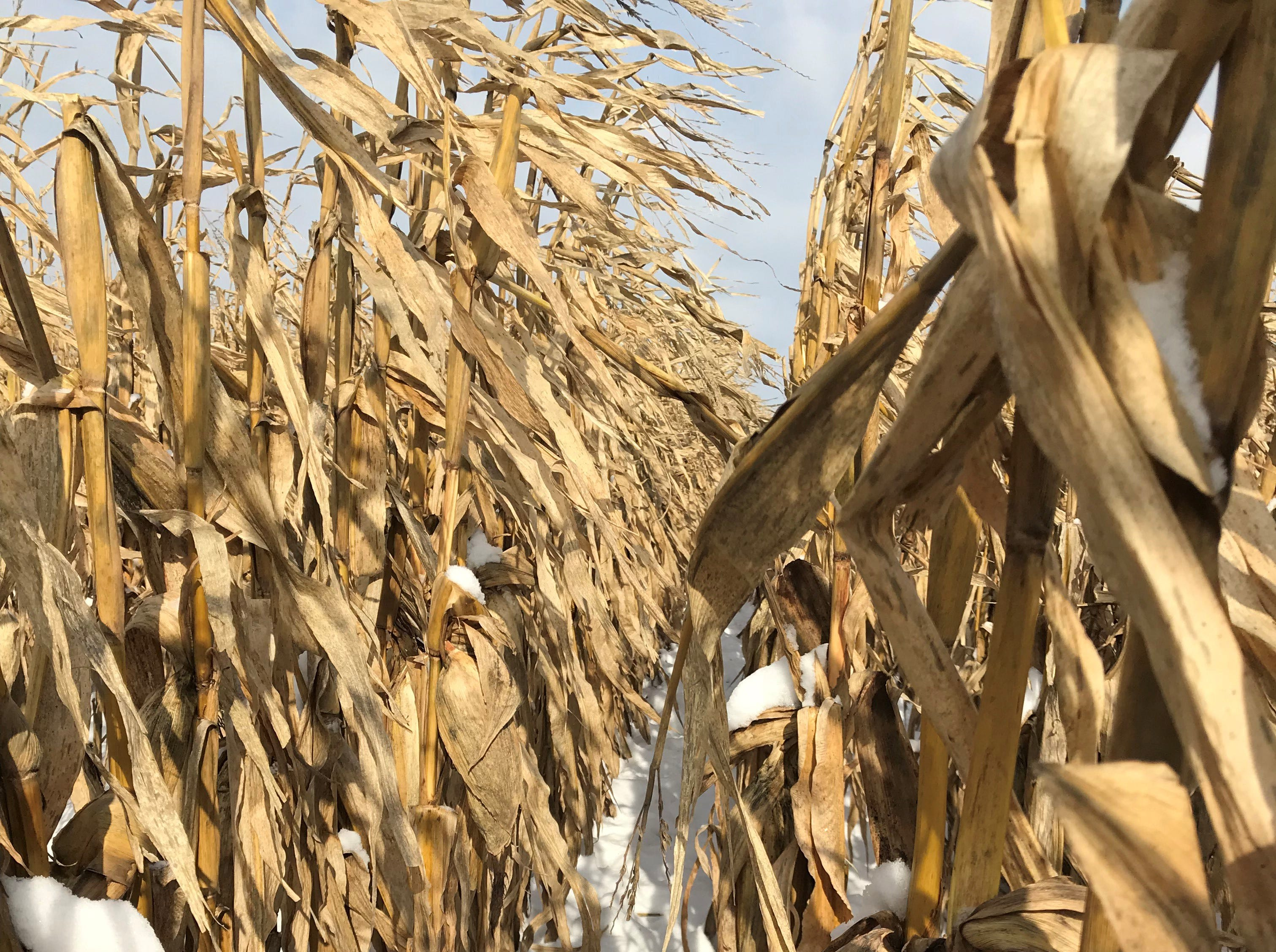 Snow fills the rows between corn plants on Friday morning following the season's first measurable snowfall in eastern Wisconsin.