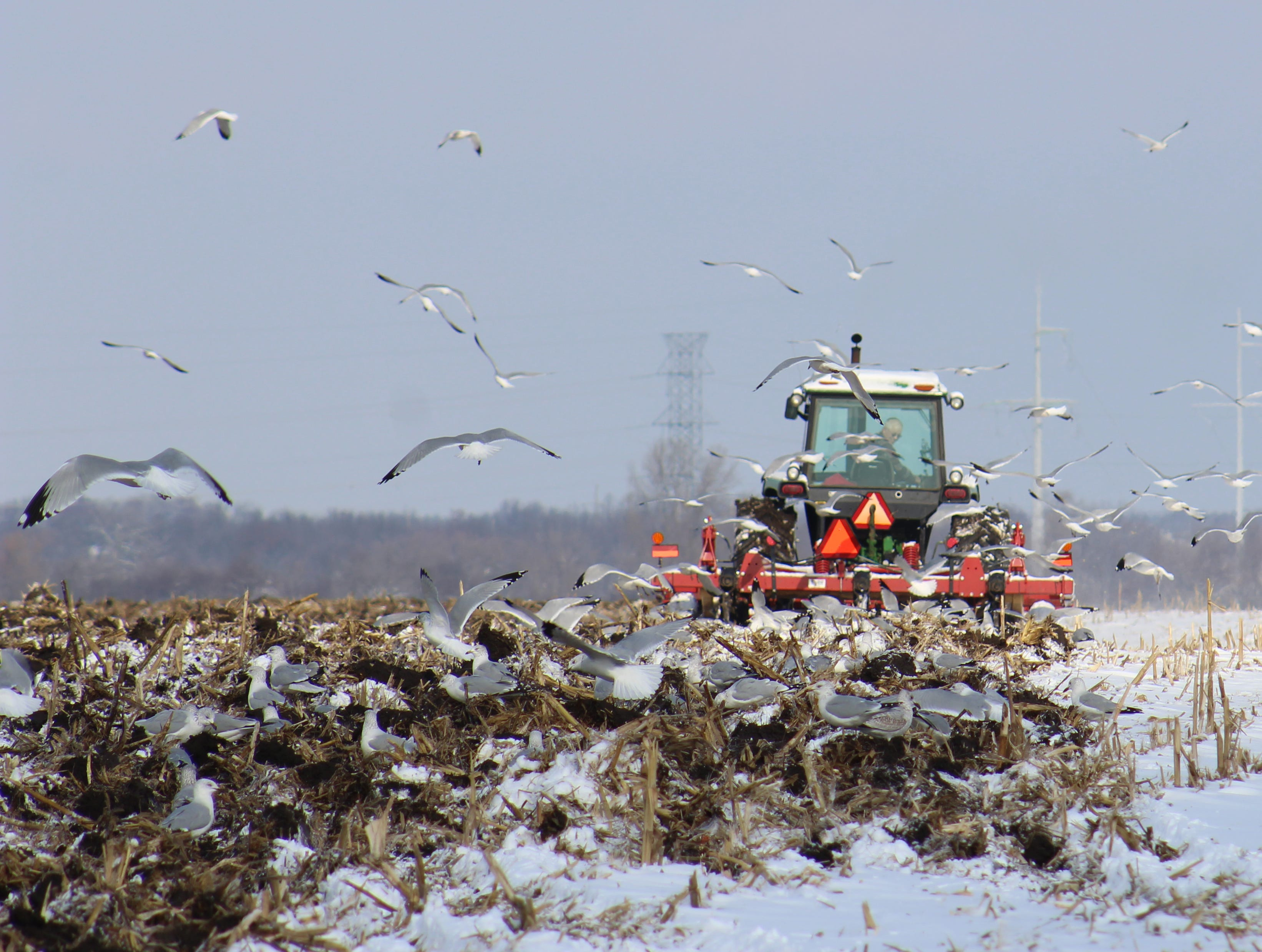 A cloud of seagulls follow a tractor as a Fond du Lac County farmers gets some fall fieldwork done before the frost hardens the soil.