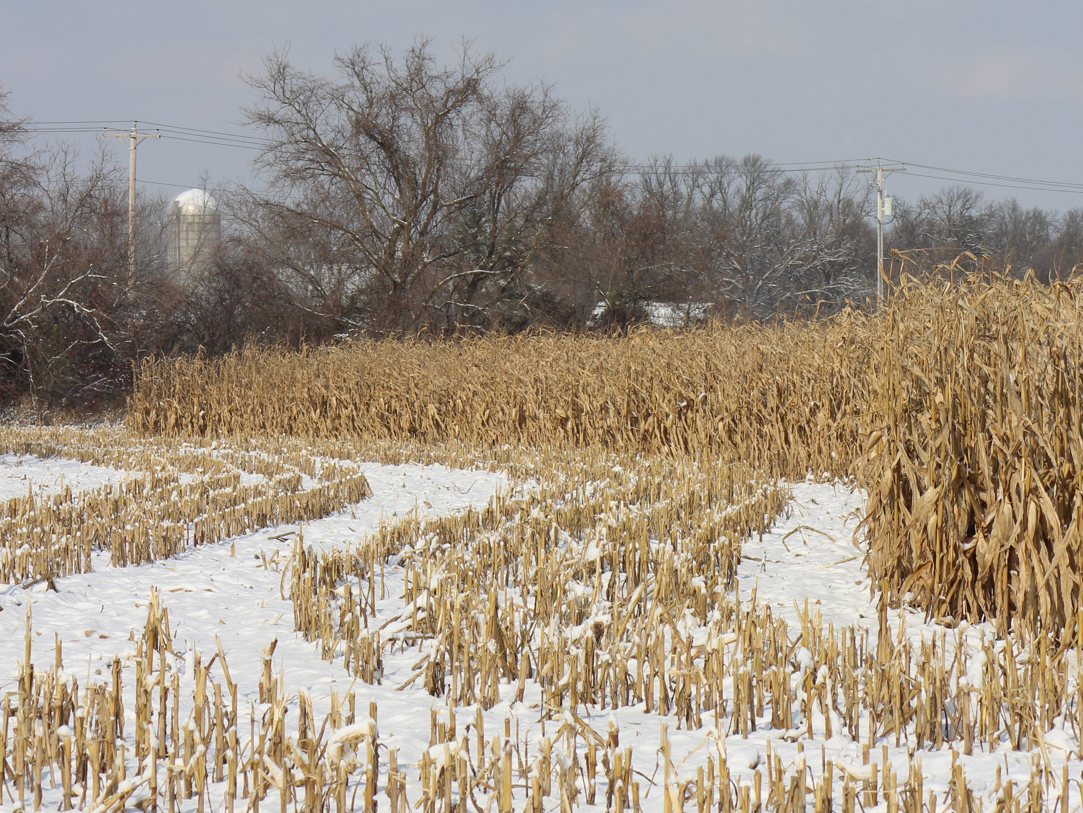 Corn stands waiting to be harvested in this farm field south of Fond du Lac.