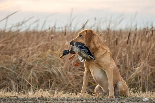 A labrador sits obediently with a mallard duck.