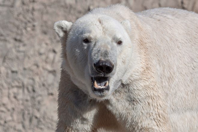 Lee, an 18-year-old polar bear, was brought to the Columbus Zoo this week.