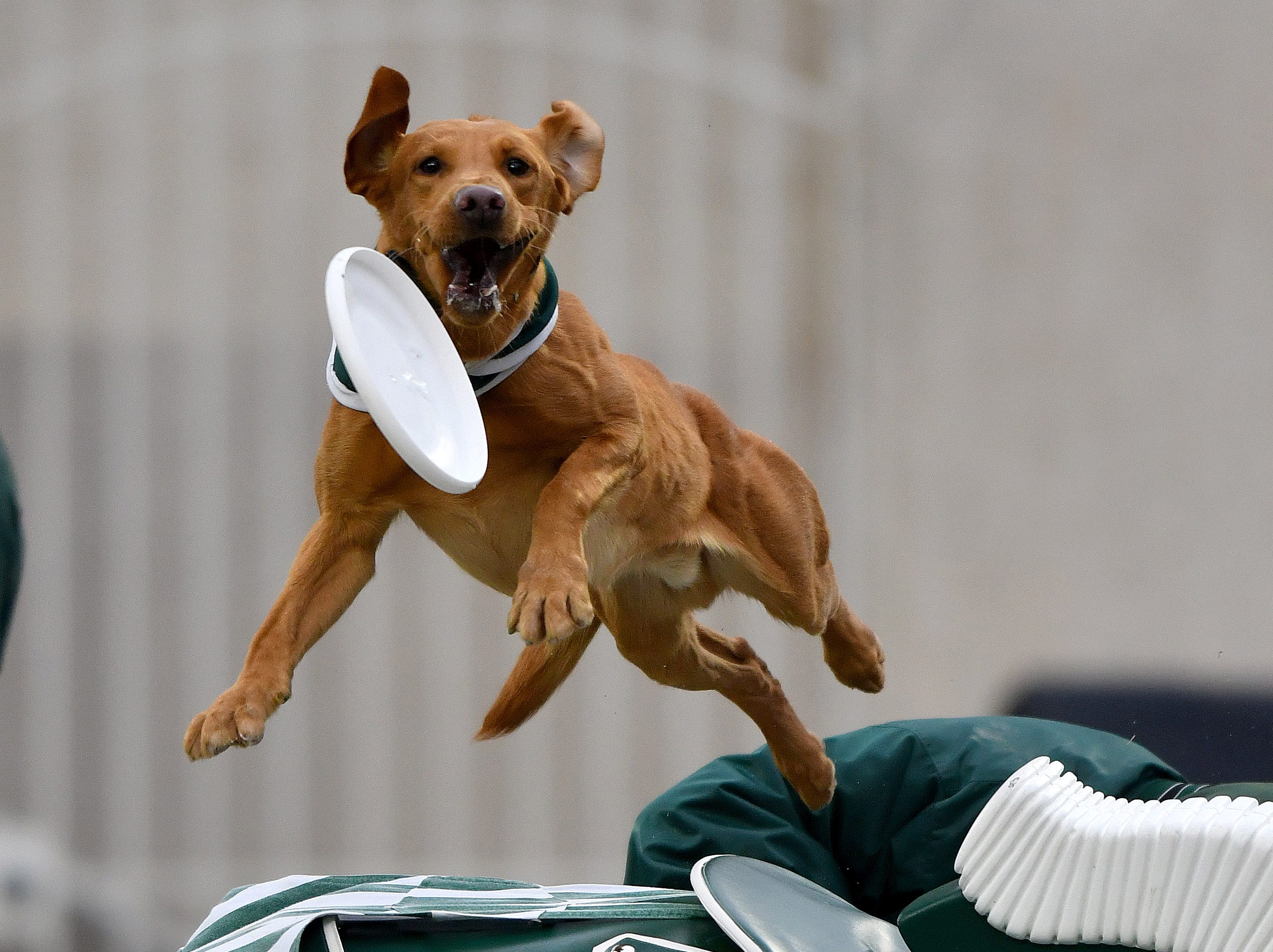 Zeke The Wonder Dog leaps high over Sparty's back for a flying disc.