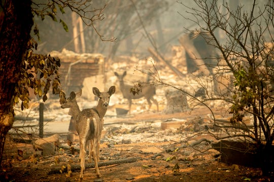 A deer walks past a destroyed home on Orrin Lane after the wildfire burned through Paradise, Calif., on Saturday, Nov. 10, 2018.