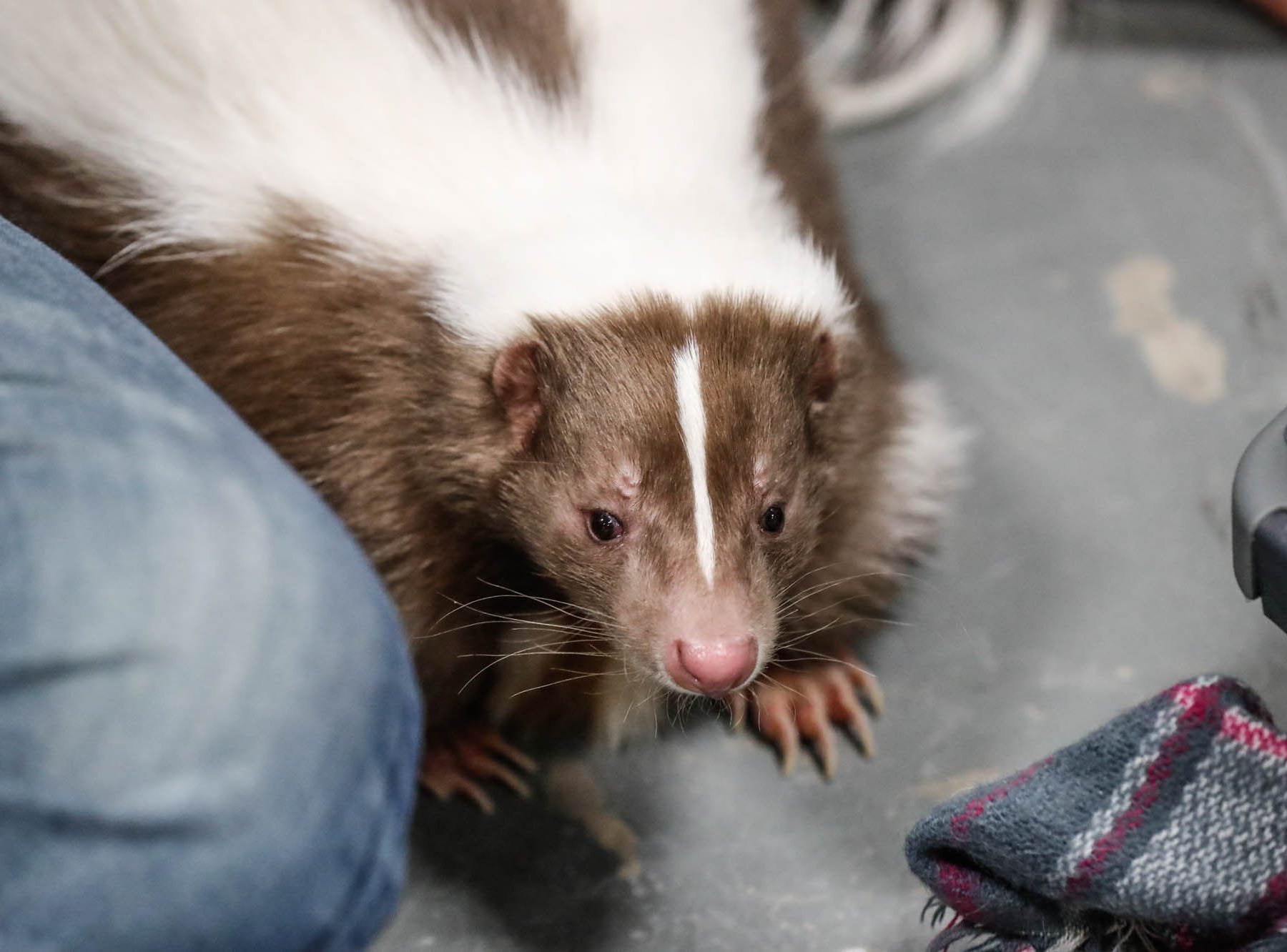Gizmo the skunk makes an appearance at the Great Indy Pet Expo, held at the Indiana State Fairgrounds on Sat. Nov. 10, 2018.