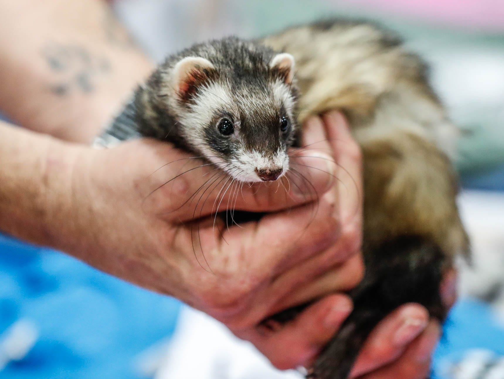 A ferret named Miss Kitty from the Five Points Ferret Rescue greets guests at the Great Indy Pet Expo, held at the Indiana State Fairgrounds on Sat. Nov. 10, 2018.