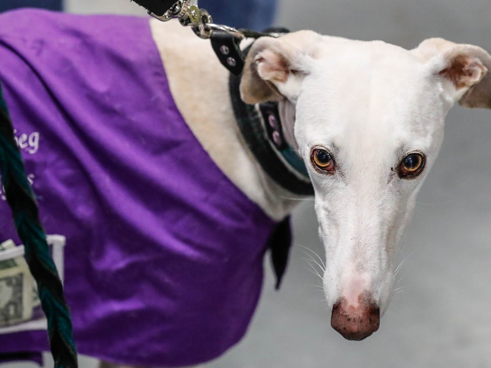 Sophia Lauren, a Spanish greyhound, meets and greets guests at the Royal Sighthound Connection booth at the Great Indy Pet Expo, held at the Indiana State Fairgrounds on Sat. Nov. 10, 2018. Royal Sighthound Connection rescues Spanish greyhounds from overseas and helps to find them forever homes in the U.S.A.