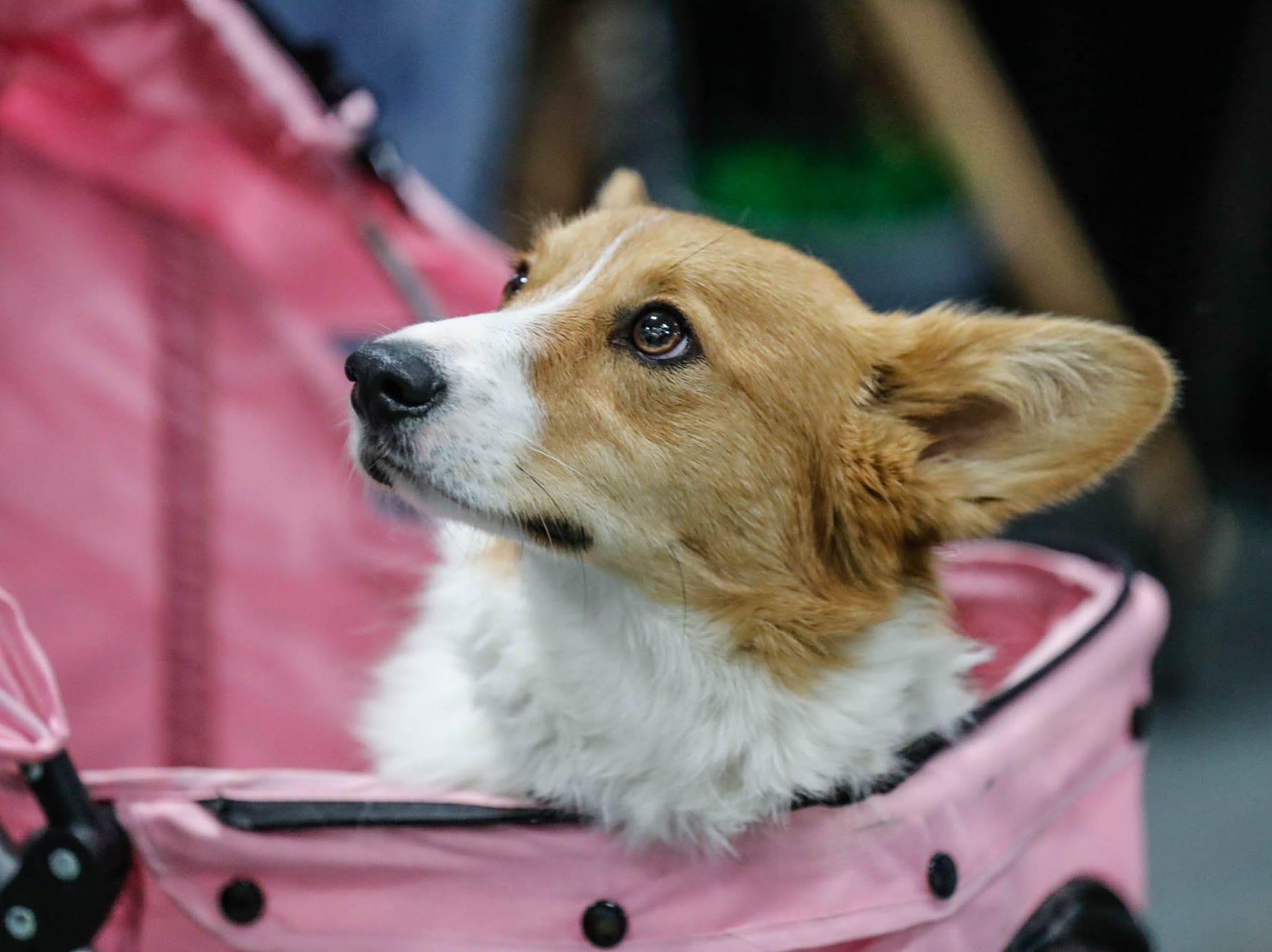 Griffin tours the Great Indy Pet Expo in a carriage, at the Indiana State Fairgrounds on Sat. Nov. 10, 2018.