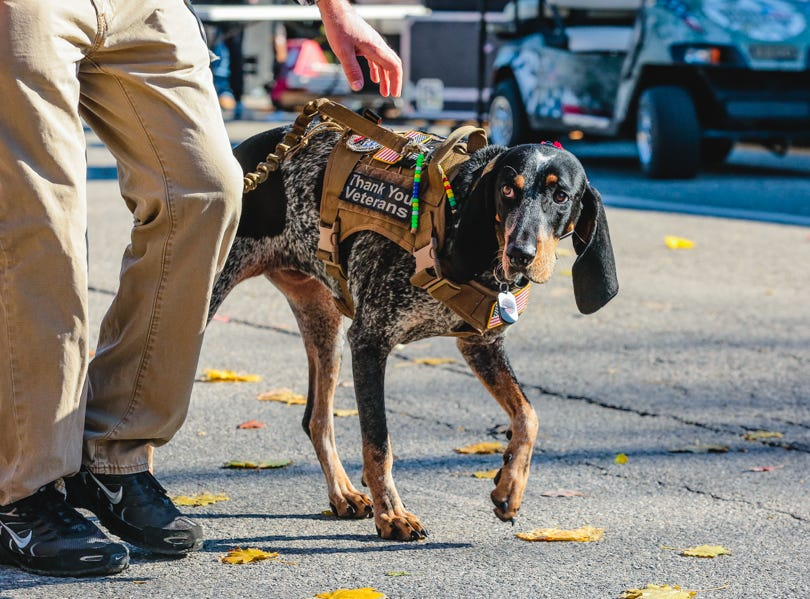 A dog walks in the Veterans Day Parade.