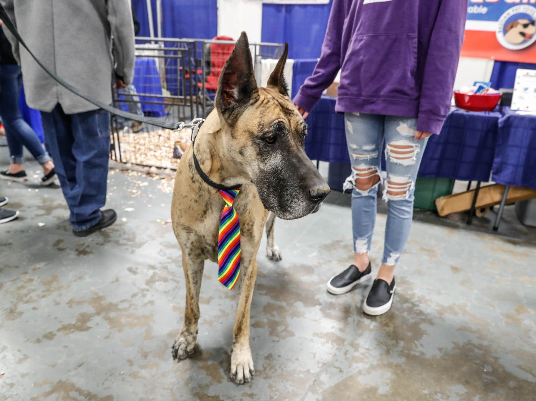 Maia, a great dane, attends the Great Indy Pet Expo, held at the Indiana State Fairgrounds on Sat. Nov. 10, 2018.