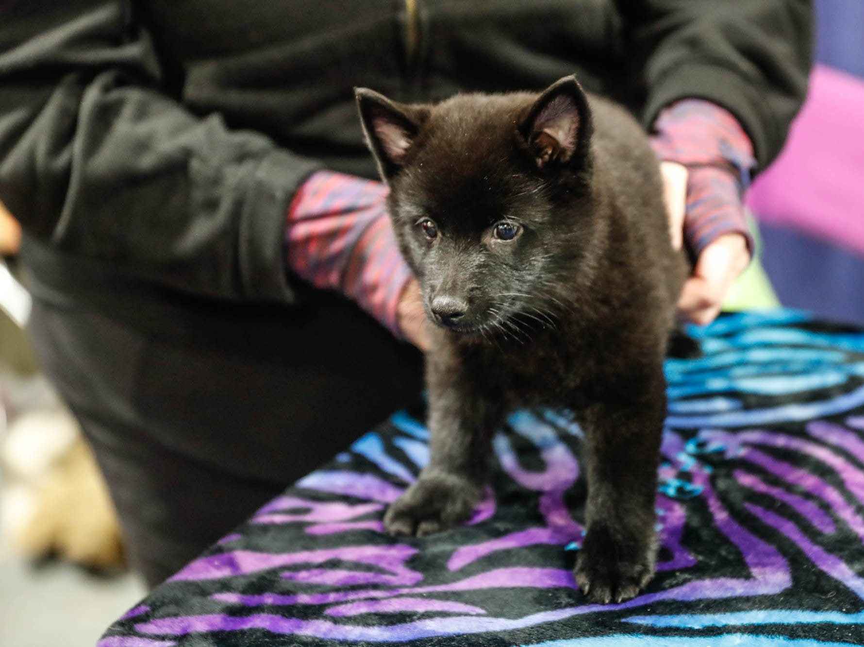 Sara Name holds her schipperke puppy named Ice at the Great Indy Pet Expo, held at the Indiana State Fairgrounds on Sat. Nov. 10, 2018.