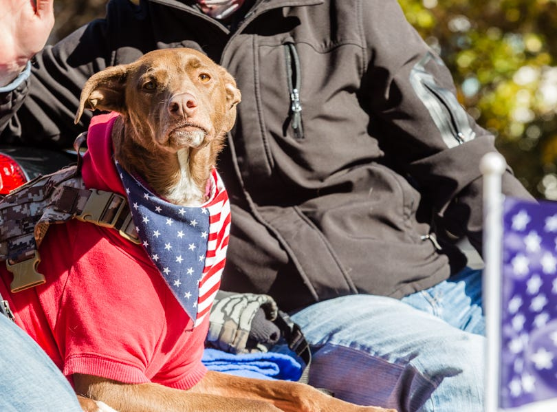 A service dog dawns a patriotic bandana during the Veterans Day Parade.