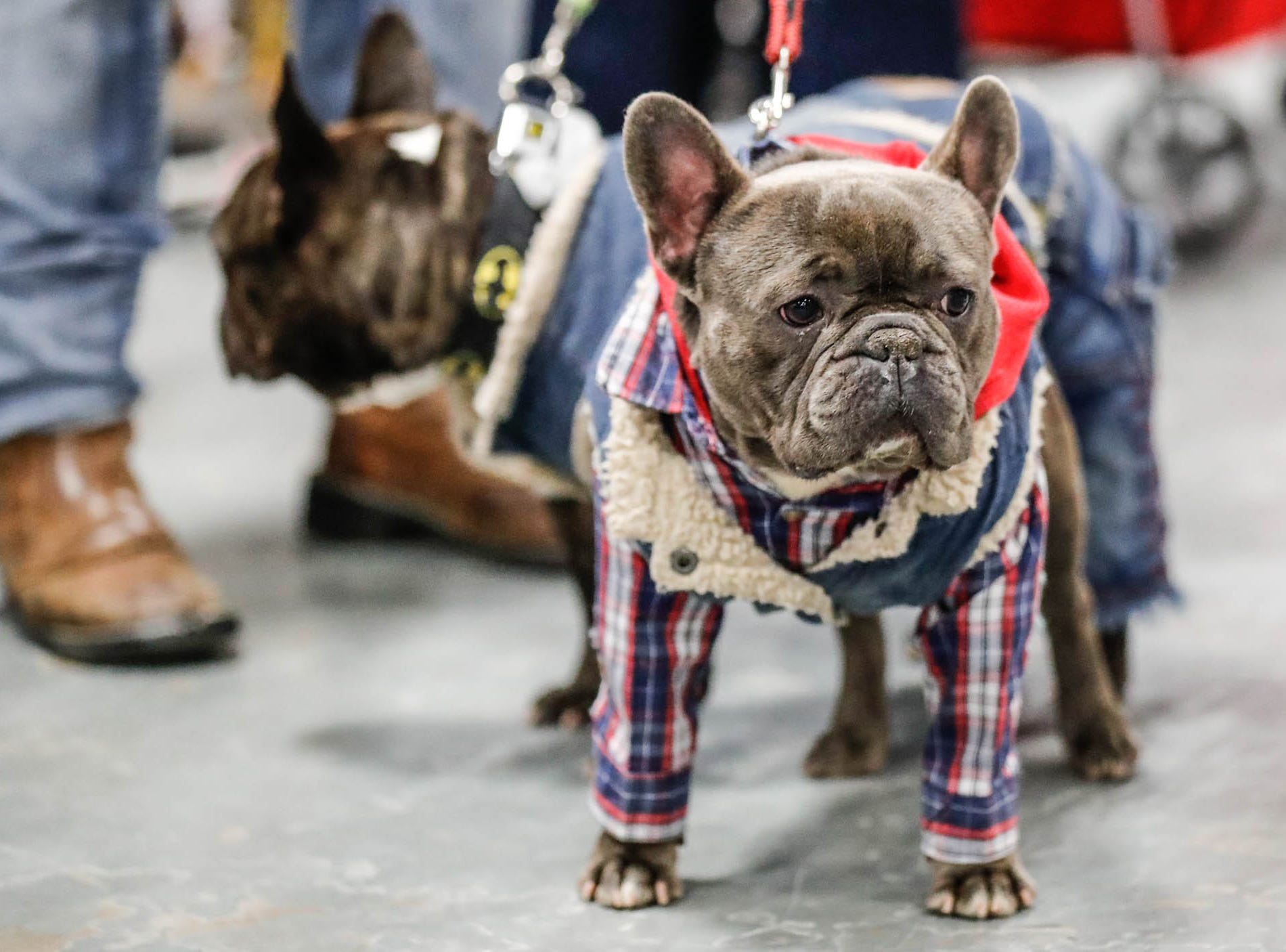 A dog belonging to Andy Ronan struts it's stuff in a denim outfit at the Great Indy Pet Expo, held at the Indiana State Fairgrounds on Sat. Nov. 10, 2018.