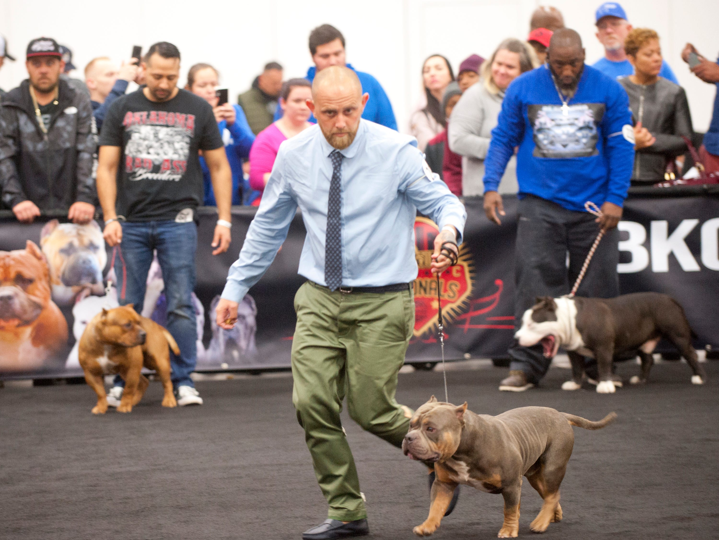 Handler Matt Cottrell of Kingdom Kennels of Barbados, runs Cross around the ring in the Pocket Bull (age 1-2) category during the 2018 American Bully Kennel Club's 12th annual confirmation event at the Kentucky Convention Center in Louisville.November 10, 2018